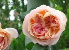 'Souvenir de Madame Léonie Viennot' Rose Photo