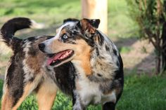 I have a horse named Abbye she is a P.A pony of america and she is a buttermilk buckskin Australian Dog Breeds, Koolie Dog, Massive Dogs, Dog Health Care, Horse Names, Miniature Dogs, Natural Instinct, Rough Collie, Sheltie