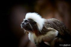 Pinché tamarin | Flickr - Photo Sharing!