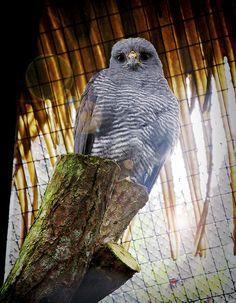 Lovely Little Owl | Costa Rica