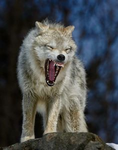 Stay Away From My Own I Come For You Tiger Angry Wolf Wild