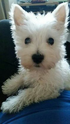 Teddy at 12 weeks old....    from a FB account      (Please Do Not Change This)