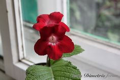 DS SCARLET FLOWER: Dimetris has created many unusual Streptocarpus hybrids. However, It is still nice to see a pure, simple beauty like this. A cross between DS YARILLO and S. dunnii. On my WANT list.