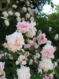 Cecil Brunner rose bush.... My favorite and too pretty to not have in the backyard.