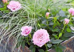 Ruukkuruusut kukkivat pitkälle syksyyn, kun hoidat niitä oikein. Lue Viherpihan ohjeet ruukkuruusun hoitoon!