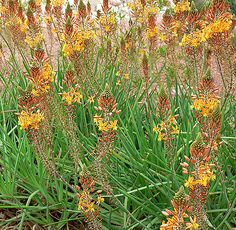 Cape Balsam [Bulbine frutescens] Small, evergreen perennial is a wonderful addition to dry perennial borders with its long-blooming spikes of delicate, star-shaped yellow flowers; fleshy, bright green foliage adds a sculptural element to the garden; tolerates drought and poor soils.