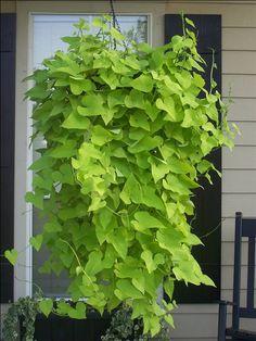 Sweet potato vine + hanging baskets