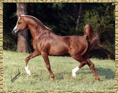 *Padron, US National Champion Stallion and Major Sire of Significance in the Arabian Breed.