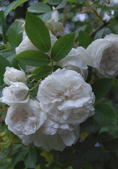 Rugosa rose 'Snowdon'. Full sun to partial shade.  Plant in drifts. ?shady bed.