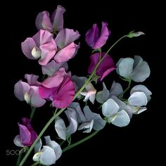 FLOWERS OUR MOTHERS LIKED: SWEET PEAS… / 500px