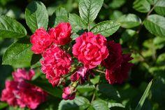 Neilikkaruusu | Vesan viherpiperryskuvat – puutarha kukkii