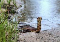 cottonmouth, cotton mouth, water moccasin, watermoccasin, black, viper, pitviper, pit viper, southern, snake, reptile, reptiles, snakes, mocasin, moccosin,  agkistrodon piscivorus, visious, vicious, deadly, poison, poisonous, venom, venomous, venomous snake, venomous snakes,poisonous snake, poisonous snakes, poisonous snakes of florida,venomous snakes of florida,fl,fla,venomous snakes of the florida panhandle, agkistrodon piscivorus conanti