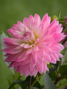 Pink Dahlia--so gorgeous