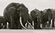 Satao, the world's biggest elephant, with his family. Killed by poachers for his tusks. Heartbreaking.