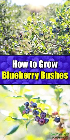 balcony garden How to Grow Blueberry Bushes - Easy Balcony Gardening Blueberry Plant, Organic Gardening, Balcony Garden, Herbs, Plants, Mason Jar Herb Garden, Blueberry Bushes, Container Gardening, Gardening Tips