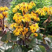 Ligularia dentata 'Midnight Lady' (Large Plant) - 1 x 1 litre potted ligularia plant