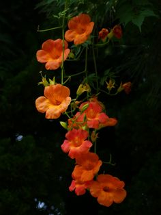 Campsis grandiflora My Flower, Flower Art, Campsis, Ikebana, Orange Plant, Angel Trumpet, Flower Aesthetic, Orange Flowers, Green Backgrounds