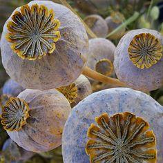 Poppy seed pods by Dragan Todorović