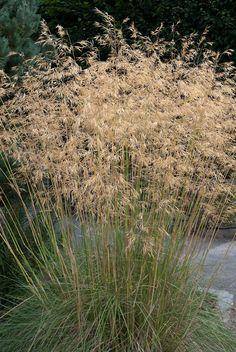 Stipa gigantea,(straalhaver) bloei juni-sept,matig tot redelijk winterhard (beschutte standplaats) zonnige standplaats