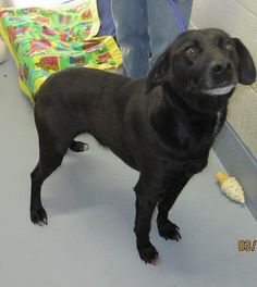 Meet 130600 - Shadow, a Petfinder adoptable Black Labrador Retriever Dog | Ravenna, OH | Male lab mix with docked tail found as a stray. Approx 6 years old.