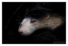 Mani 5 - Fancy rat by DianePhotos