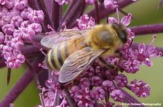 Honey Bee *Posted by Catherine Nelson