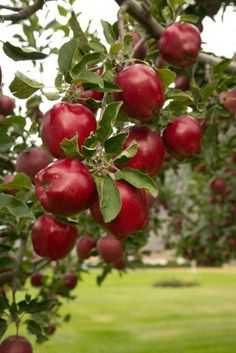 Maçã Red Delicious Apple Tree at Backyard Fruit Apple Fruit, Fruit And Veg, Red Apple, Fresh Fruit, Fruit Trees For Sale, Apple Farm, Apple Orchard, Arbour Day, Fruit Photography