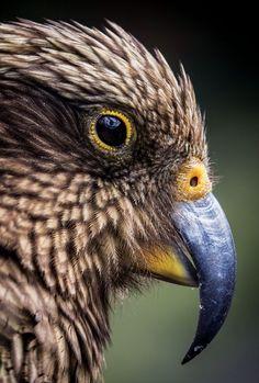 Birds of play Beautiful Birds, Animals Beautiful, Cute Animals, Bird Drawings, Animal Drawings, Endangered Plants, Endangered Species, Tui Bird, Zealand Tattoo