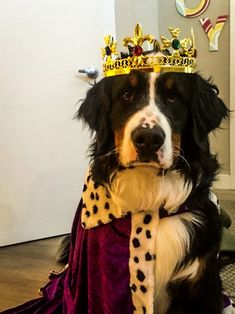 #bernesemountain dog, #berner, #king Jack turns #1, #Edmonton Big Fluffy Dogs, Big Dogs, Cute Dogs, Dogs And Puppies, Doggies, Animals And Pets, Cute Animals, Baby Animals, Bermese Mountain Dog