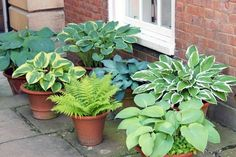 Grow some hostas in containers to move around