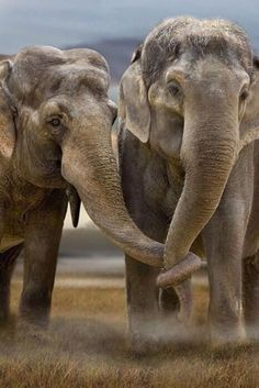 ♂ Amazing nature wild life photography elephant love Elephants are the most emotional and compassionate of animals. Animals And Pets, Baby Animals, Cute Animals, Wild Animals, Smart Animals, Baby Hippo, Nature Animals, Funny Animals, Wild Life