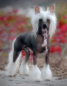 Chinese Crested (dog)  i know its weird, but i love them.  You have to put sunscreen on them and they have a tendency to get body acne.