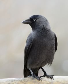 Jackdaw. Regular visitor to the garden. Very acrobatic when stealing seeds from the feeder.