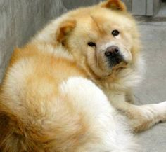 CALIFORNIA ~ URG'T ChowChow dog adoptable in LosAngeles SEE HERE -- https://www.facebook.com/photo.php?fbid=193983314078748=a.119008518242895.29193.100004012421049=1¬if_t=photo_comment_tagged    http://www.petharbor.com/pet.asp?uaid=LACT.A1366284    GORGEOUS BOY in CA's E.Valley shelter!  PLS pledge & share ASAP, CA  NEED FOSTERS & rescues to help!