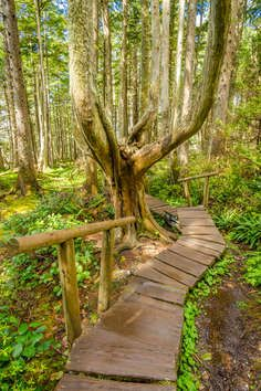 The Cape Flattery Trail, favorite destination for eco-tourists and hikers, is located on the tip of the Olympic Peninsula and is one of the most beautiful places on the Makah Indian Reservation. Just 2 hours away from the city of Port Angeles, Washington, Cape Flattery is well worth the drive. The 3/4 mile trail consists of boardwalk, stone and gravel steps. There are 4 observation decks which offer breath taking views of the Olympic Coast National Marine Sanctuary and Tatoosh Island. T...