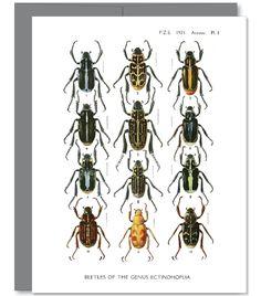 Genus Beetle