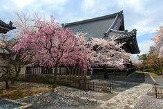 妙顯寺 Cherry blossoms SAKURA in Kyoto JAPAN