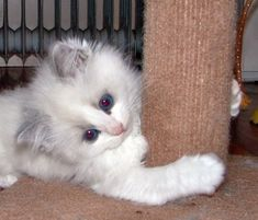 Photo Ragdoll Kitten                                                                                                                                                                                 More