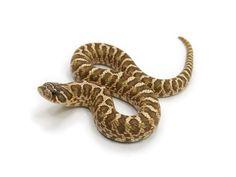 Spider morph Western Hognose Snake