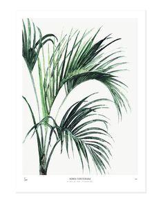 Botanics /  Howea