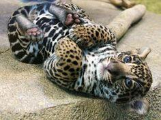 A ferocious jaguar cub...