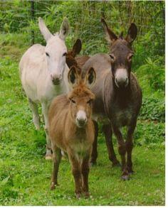 Miniature Donkeys (when mature) are easily trained ...  treworlasfarm.com