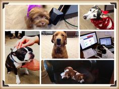 Office dog love. Office Dog, The Office, Dog Love, Boston Terrier, Dogs, Animals, Animais, Animales, Animaux
