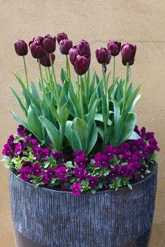 Most Beautiful Purple Flowers with Pictures - Tulips - Blumen & Pflanzen Tulips Garden, Garden Pots, Planting Flowers, Garden Ideas, Garden Guide, Terrace Garden, Purple Flowers, Spring Flowers, Beautiful Flowers