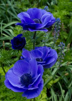 Feel the blues: Anemone; by Kenn. Exotic Flowers, Amazing Flowers, My Flower, Pretty Flowers, Flower Power, Anemone Flower, Cactus Flower, Purple Flowers, Violets Flower