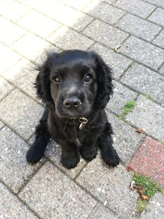 Baby Animals Pictures, Cute Animal Pictures, Animals And Pets, Funny Animals, Cute Little Puppies, Cute Dogs And Puppies, Cute Little Animals, Doggies, Cockerspaniel