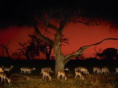 Impalas at Twilight, Aepyceros Melampus, Chobe National Park, Botswana. Photographer: Frans Lanting