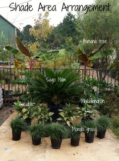 This is a great plant layout for a shade area! Place banana trees in the very back as corner pieces and philodendron directly in front. A Sago centerpiece will always look amazing and is super low maintenance! Wrap up the look with some variegated Acuba i Shade Landscaping, Florida Landscaping, Backyard Pool Landscaping, Backyard Garden Design, Tropical Landscaping, Landscaping With Rocks, Front Yard Landscaping, Landscaping Ideas, Pergola Ideas