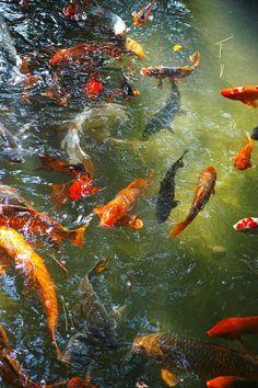 A little bit of Japan Koi Art, Fish Art, Koi Painting, Goldfish Pond, Carpe Koi, Underwater Art, Fish Wallpaper, Lily Pond, Beautiful Fish