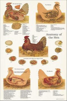 Camping Hacks Discover Chicken Hen Muscle Skeletal Anatomy Poster X Veterinary Chart Chicken Garden, Chicken Life, Backyard Chicken Coops, Chicken Coop Plans, Chicken Runs, Diy Chicken Coop, Chickens Backyard, Keeping Chickens, Raising Chickens